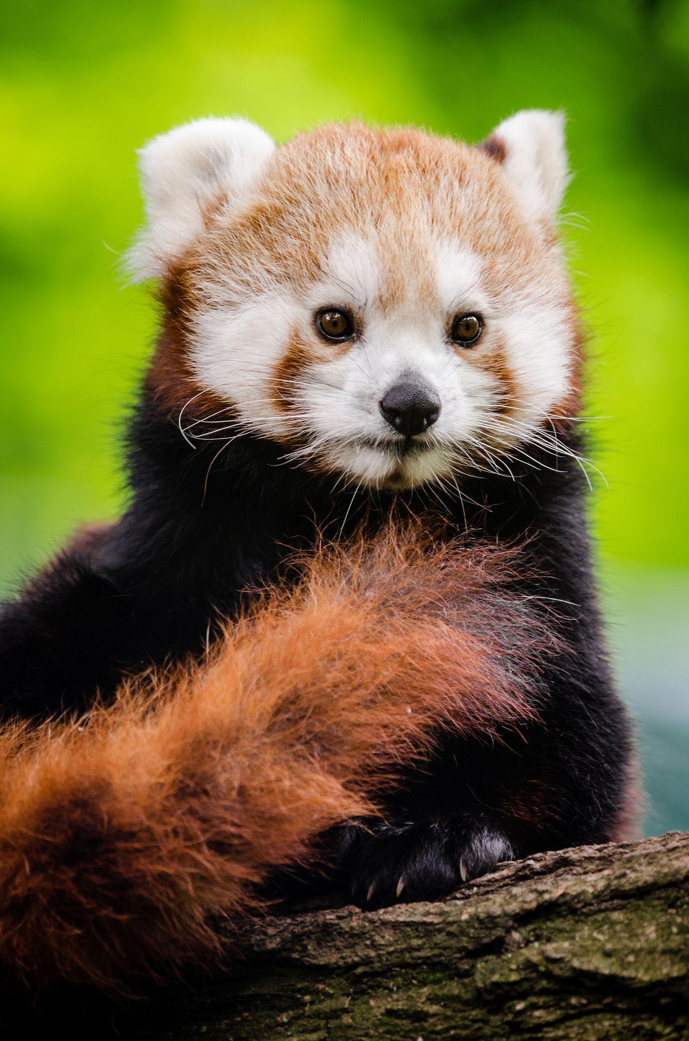 Red Panda Saugetiere Wilde Tiere Tierbilder