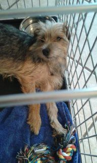 Jack Russell X Border Terrier Puppies In Marden Kent Gumtree