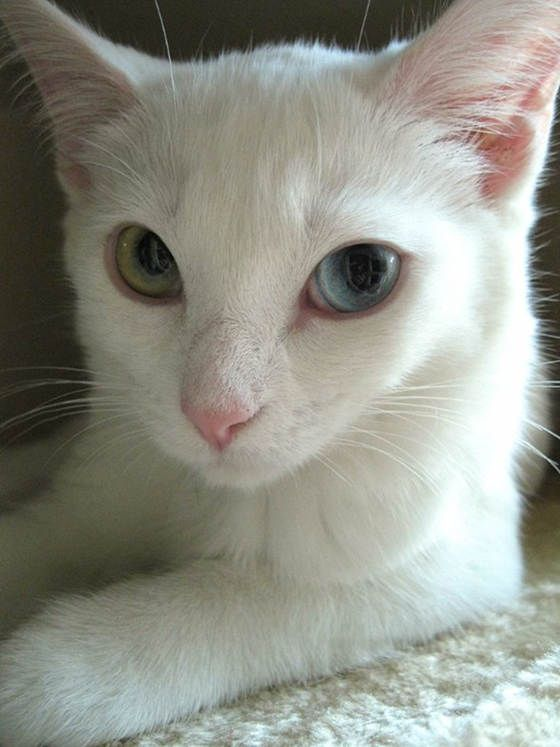 I love David Bowie Cats.  Photo via Love Meow - for Ultimate Cat Lovers