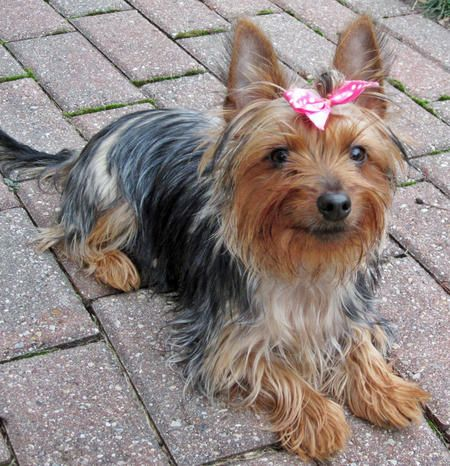 Bella The Silky Terrier Silky Terrier Terrier Puppies Yorkie Terrier