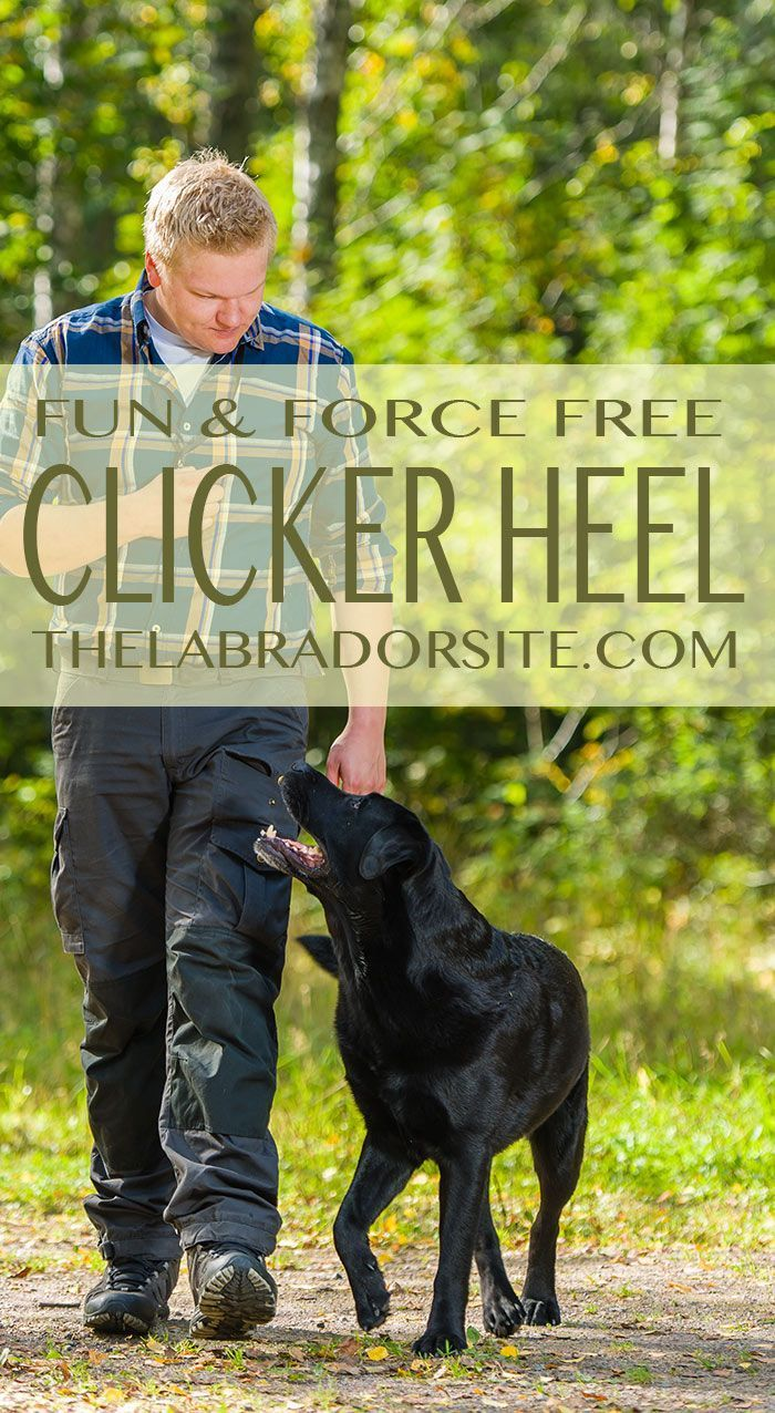 Train your dog to walk to heel off leash and without force via ... | How To Train A Dog To Heel