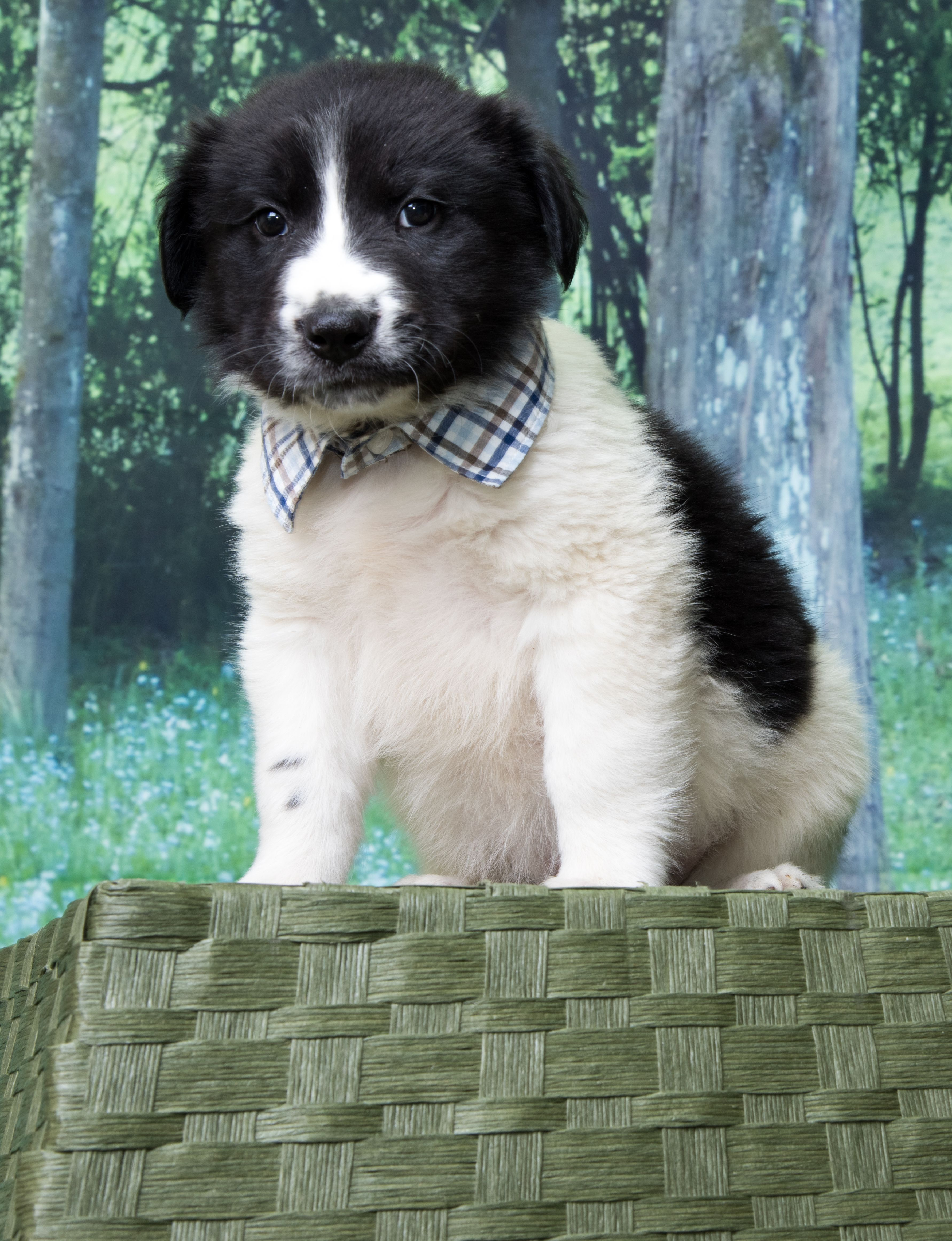 Border Collie dog for Adoption in Denver, CO. ADN566131