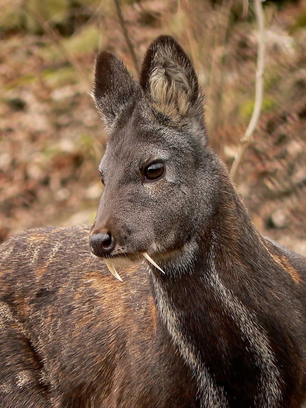 The Vampire Deer Is A Nickname For A Kashmir Musk Deer Long