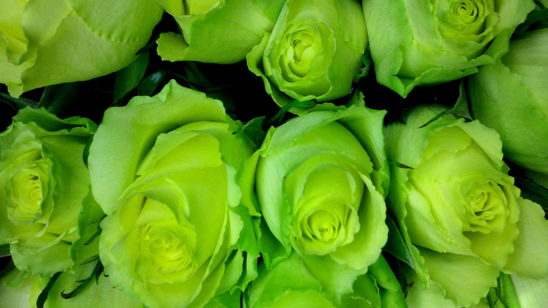 The Meaning and Top 8 Beautiful Green Roses | Green rose and Wallpaper