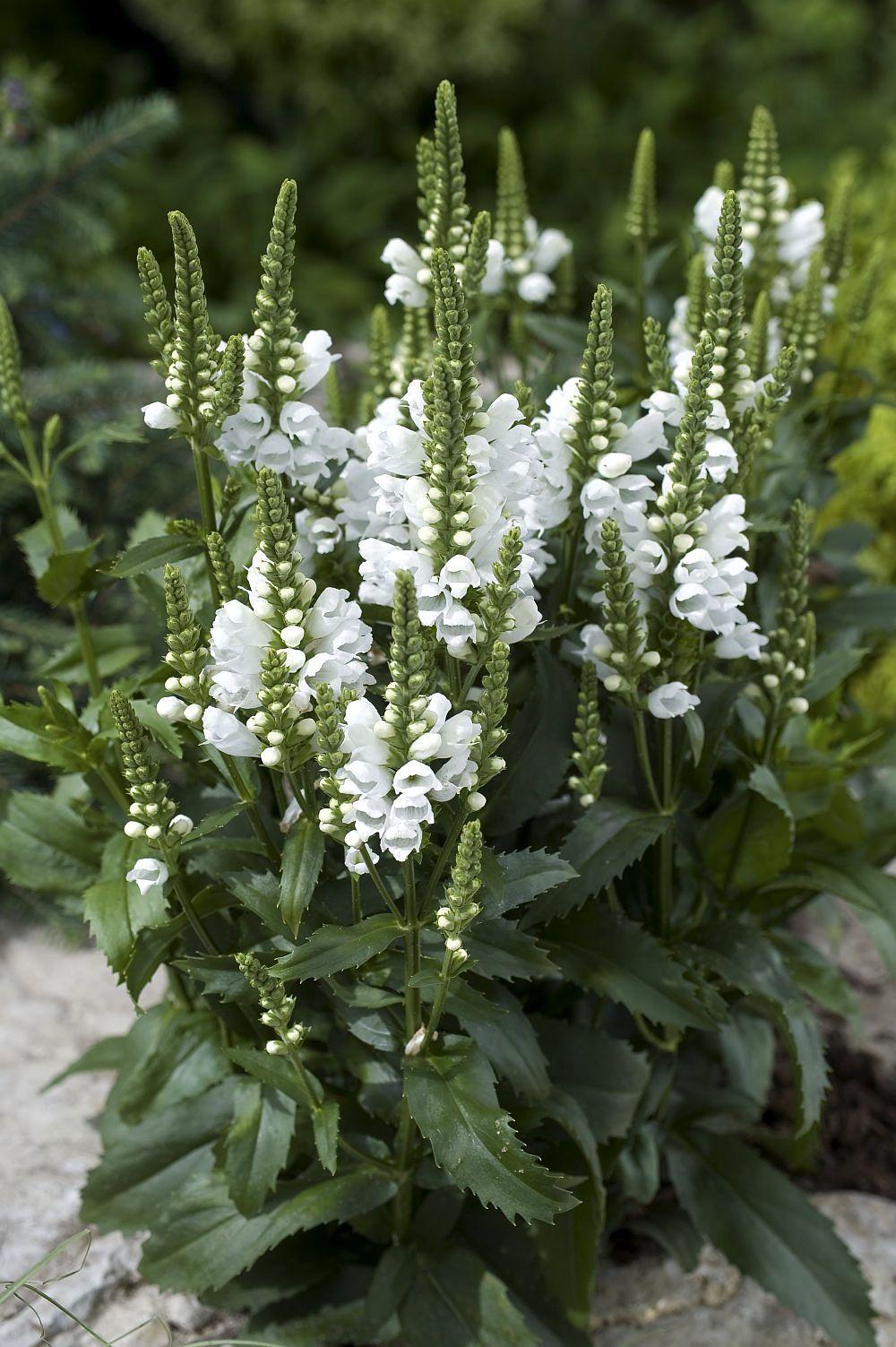 White Obent Plant