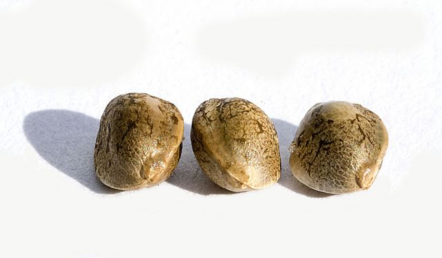 Three Cannabis Seeds