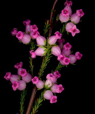 Erica Denticulata Flower With Images Amazing Flowers Unusual Flowers Flower Beauty