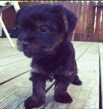 My Other Future Dog Dogs And Puppies Animals Beautiful Yorkie