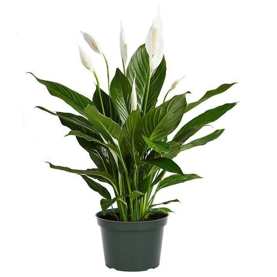 Spathiphyllum Flower Bunch Peace Lily Easy Care Live Plant Etsy In 2020 Spathiphyllum Live Plants Peace Lilly Plant