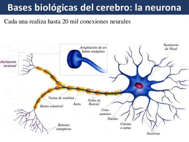Bases Biológicas Del Aprendizaje Aprendizaje Tejido Nervioso Biologico