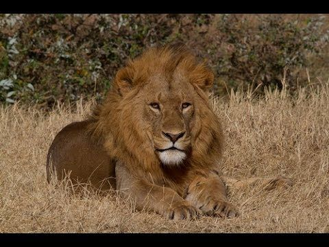 Male lion in Ngorongoro Crater, Tanzania - http://www.africansafaris.co.nz/destination/tanzania/