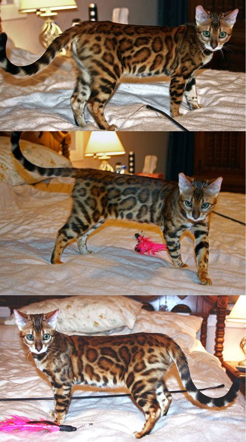 Bengal Kittens Available Bengal Cat Breeder California In 2020 Bengal Kitten Bengal Cat Bengal Cat Breeders