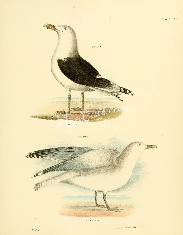 Birds Great Blackbacked Gull Larus marinus Winter Gull