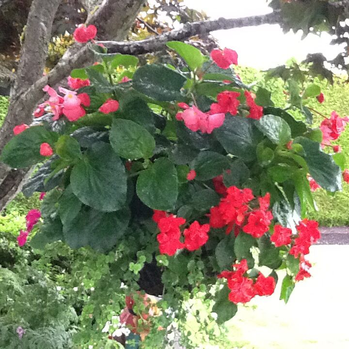 Dragon Wing Begonias Impatiens And Bacopa I Potted Up In Hanging