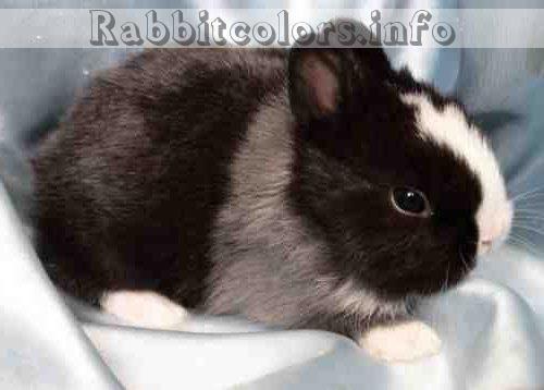 Black Blue White Aa B C D E Du2 Rabbitcolors Lapin
