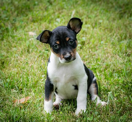 Seegmillers Lawless A Red Sable And White Rat Terrier Rat