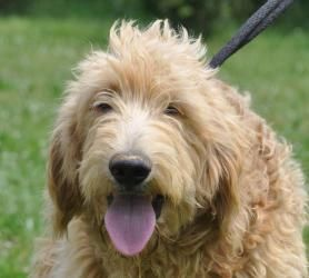 Adopt Goldendoodle On Poodle Mix Dogs Goldendoodle Dogs Golden
