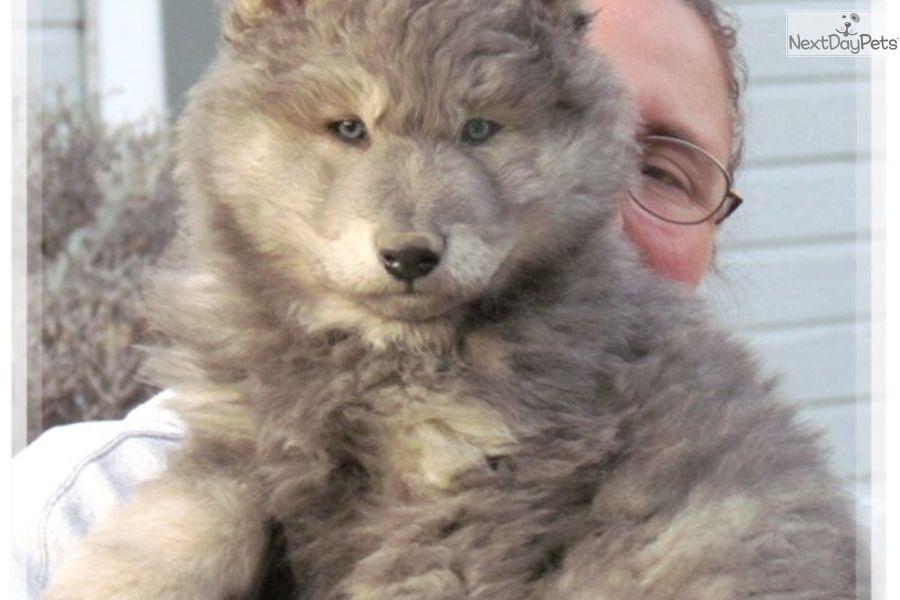 Wolf Hybrid Puppy For Sale Near Las Vegas Nevada B8d5c739 7c51 Shepherd Mix Puppies Shepherd Puppies Puppies