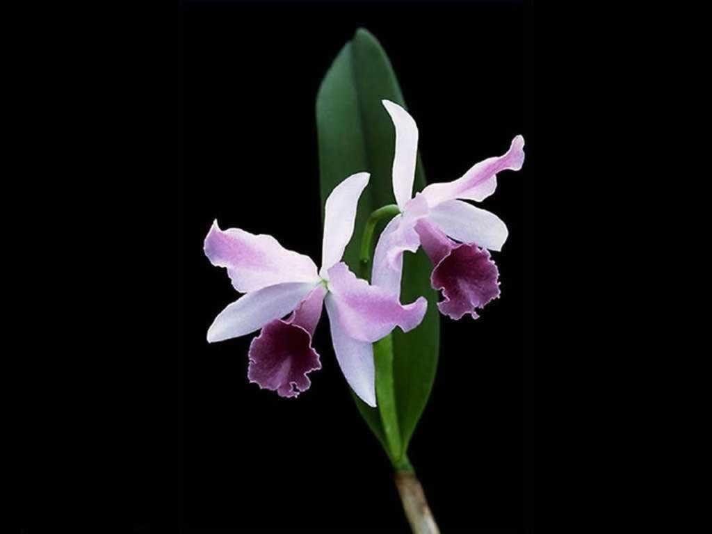 Orchid purple orchid wallpaper download the free pretty purple