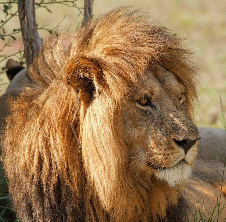 Черный лев фото картинки