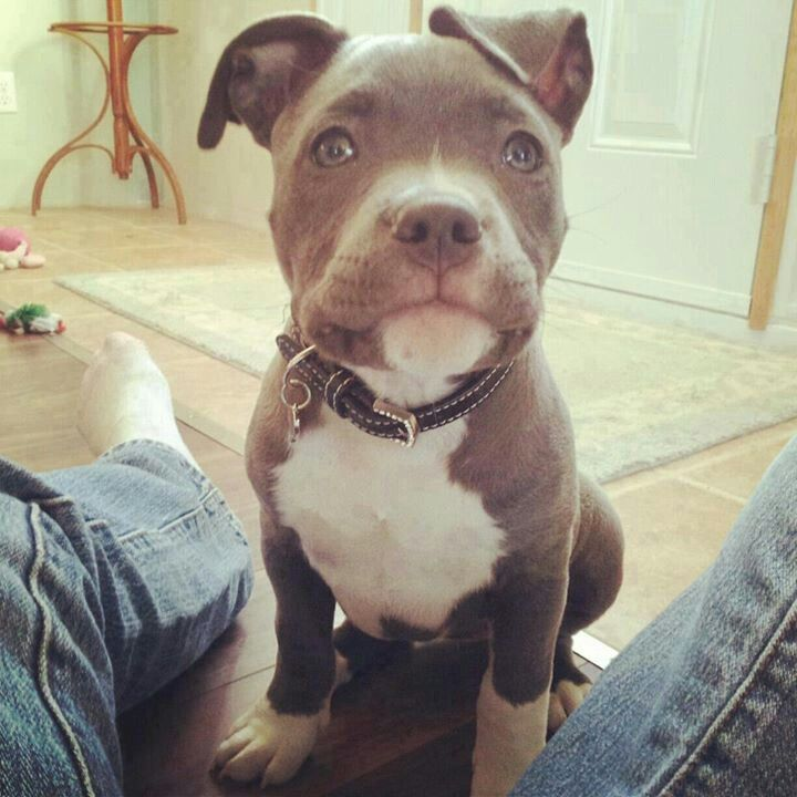 Pitbulls Animals Dogs Bully Breeds Pitbulls Cute Animals