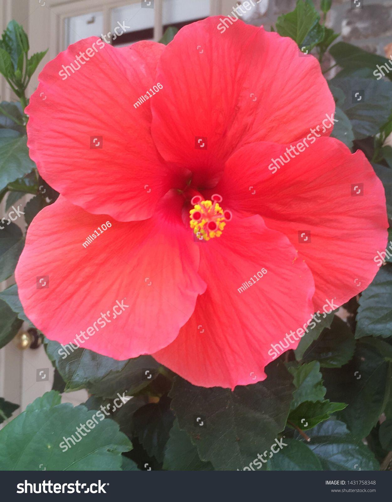 Hibiscus Flower Bloom During Summer Stock Photo Edit Now 1431758348 Hibiscus Flowers Hibiscus Flowers