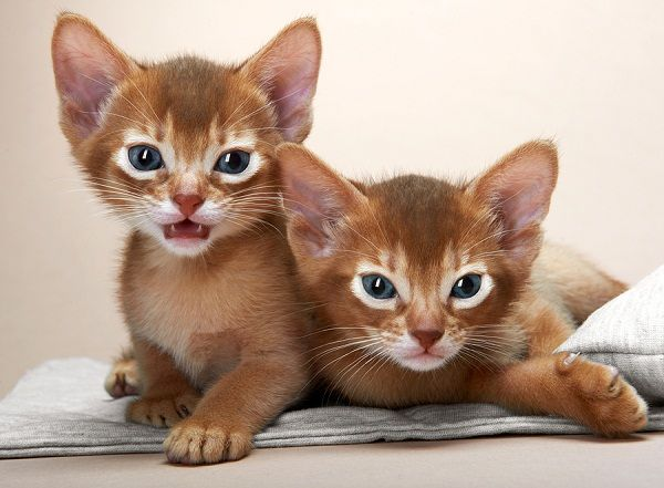 Abyssinian Cat Hypoallergenic