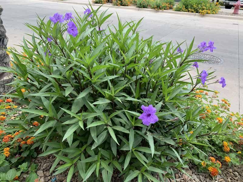 How To Grow And Care For Mexican Petunias Ruellia Simplex Shade Plants Hardy Perennials Perennial Shrubs