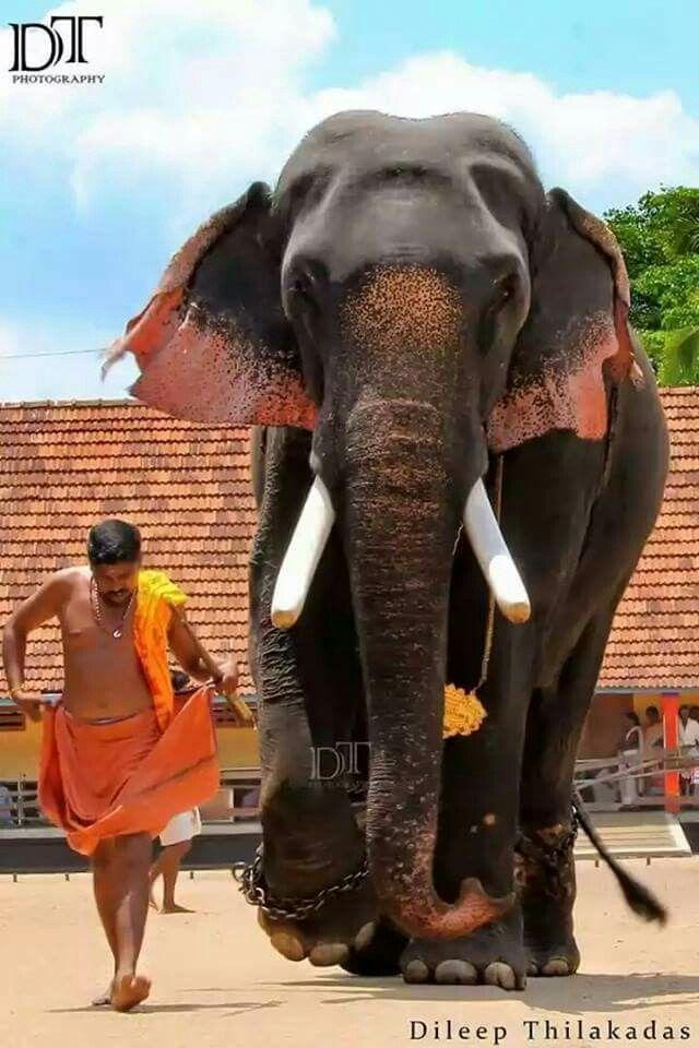 Holy Elephant Kerala Elephant Photography India Culture
