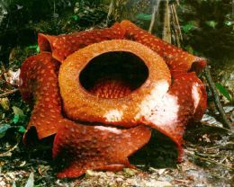 Rafflesia Queen Of Parasites And The Biggest Flower On Earth With Images Big Flowers Flowers Rare Flowers