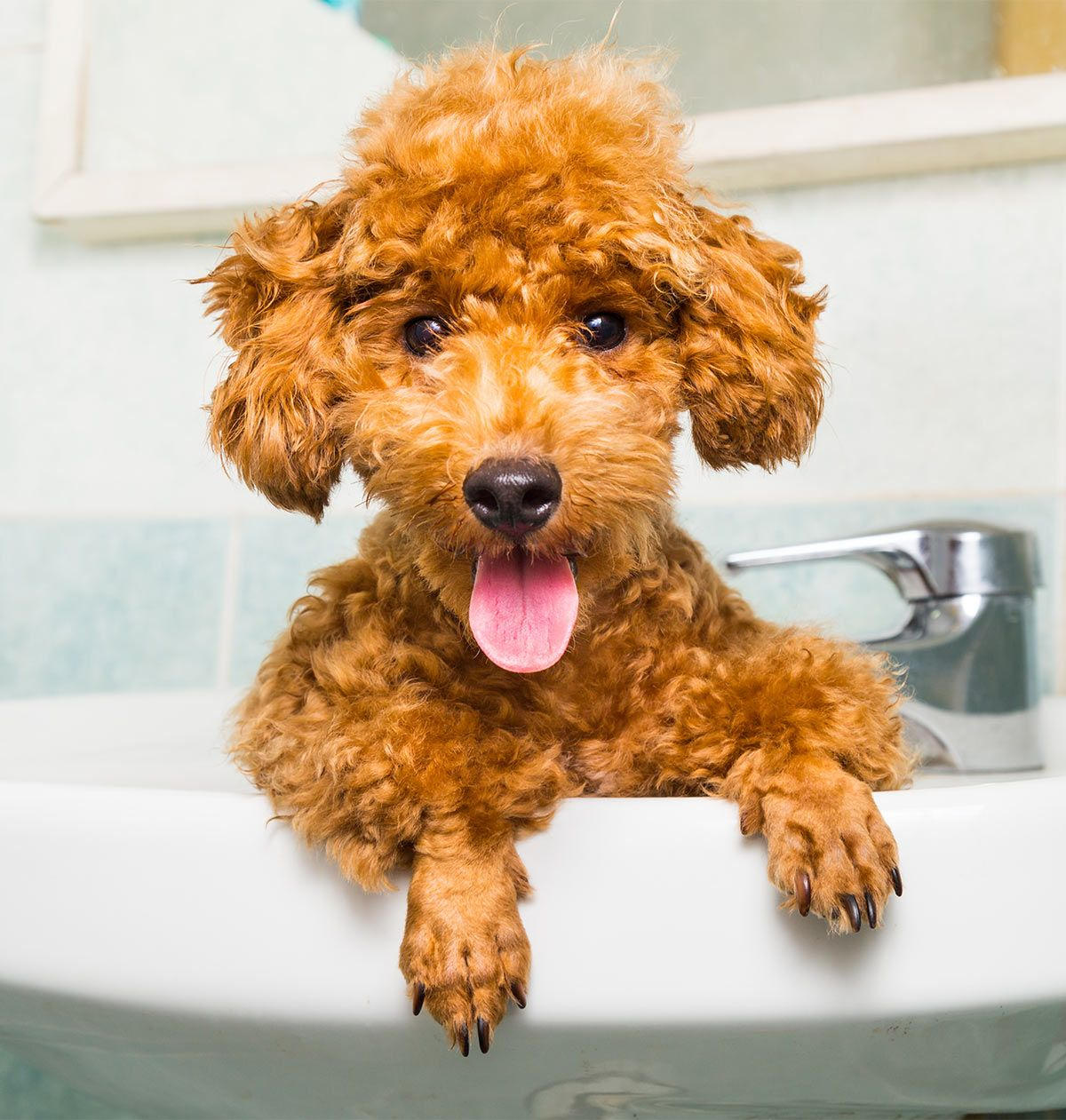 Toy Poodle All About The World S Cutest Curliest Dog Breed