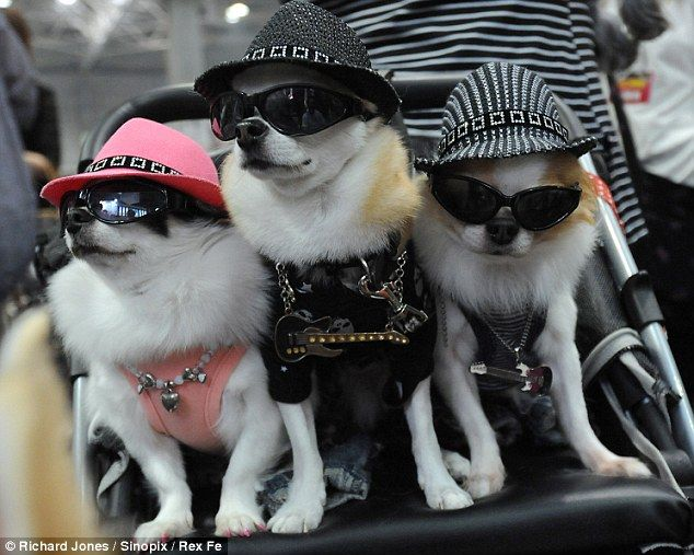 Hot Dogs Meet The Pampered Pooches Styled In Pet Crazy Japan S Most Ludicrously Expensive Clothes Emporium Pampered Pooch Chihuahua Beverly Hills Chihuahua