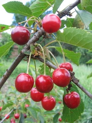 How To Grow Nanking Cherries Ehow Growing Cherry Trees Cherry Tart How To Grow Cherries