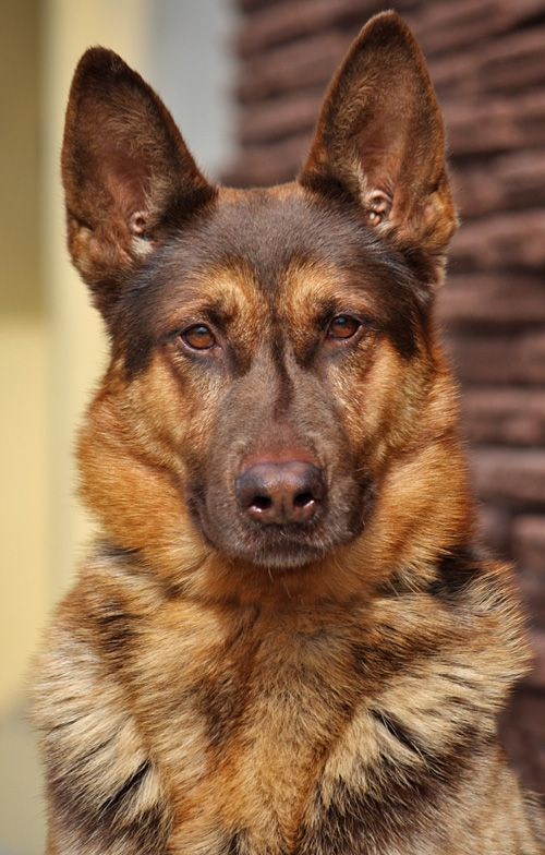 What is a liver german shepherd