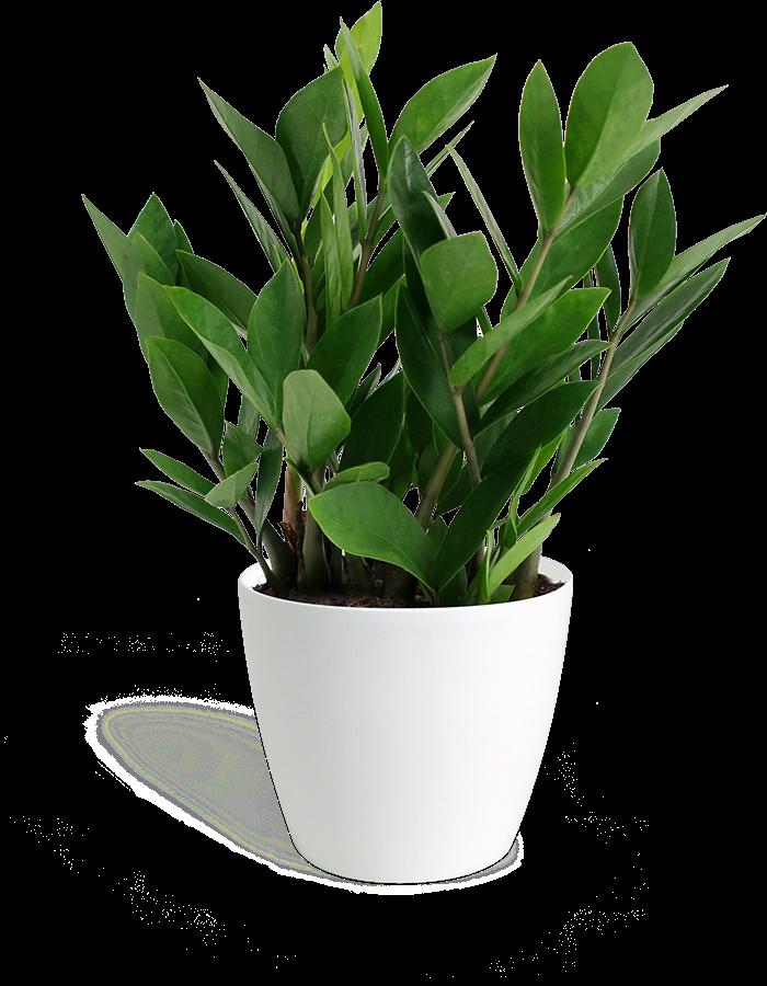 Zamioculcas Zamiifolia Small Small Indoor Plants Plants Potted Plants Patio
