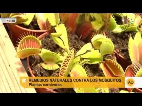 Remedios caseros contra los mosquitos adios mosquitos hogar pinterest - Plantas contra los mosquitos ...