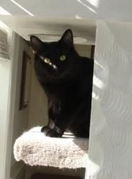 Merlin - Domestic Short Hair-black