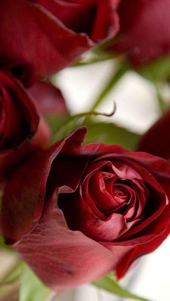 Davi Alves De Almeida Google Beautiful Roses Love Flowers Rose