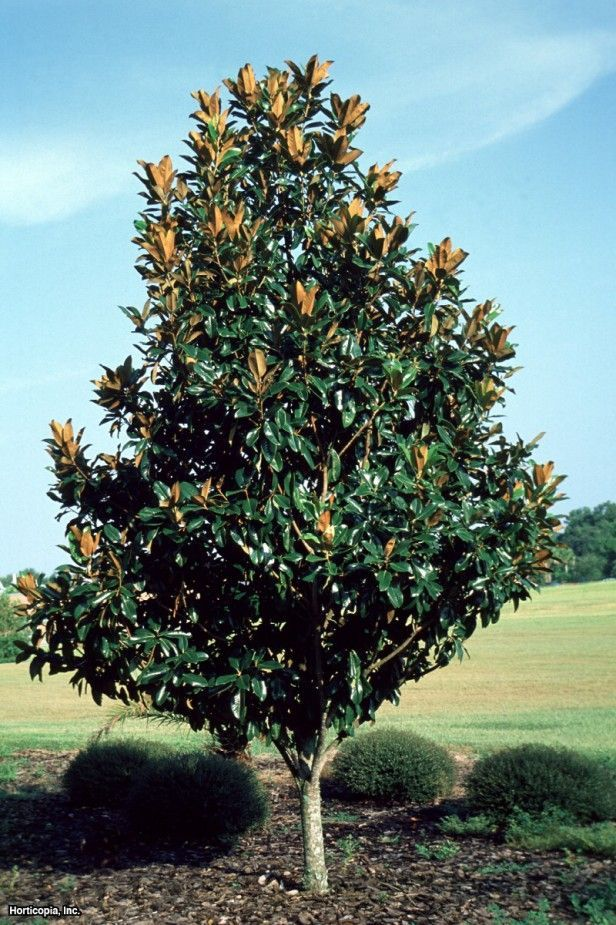 Image Result For Magnolia Grandiflora St Mary Soma Magnolia