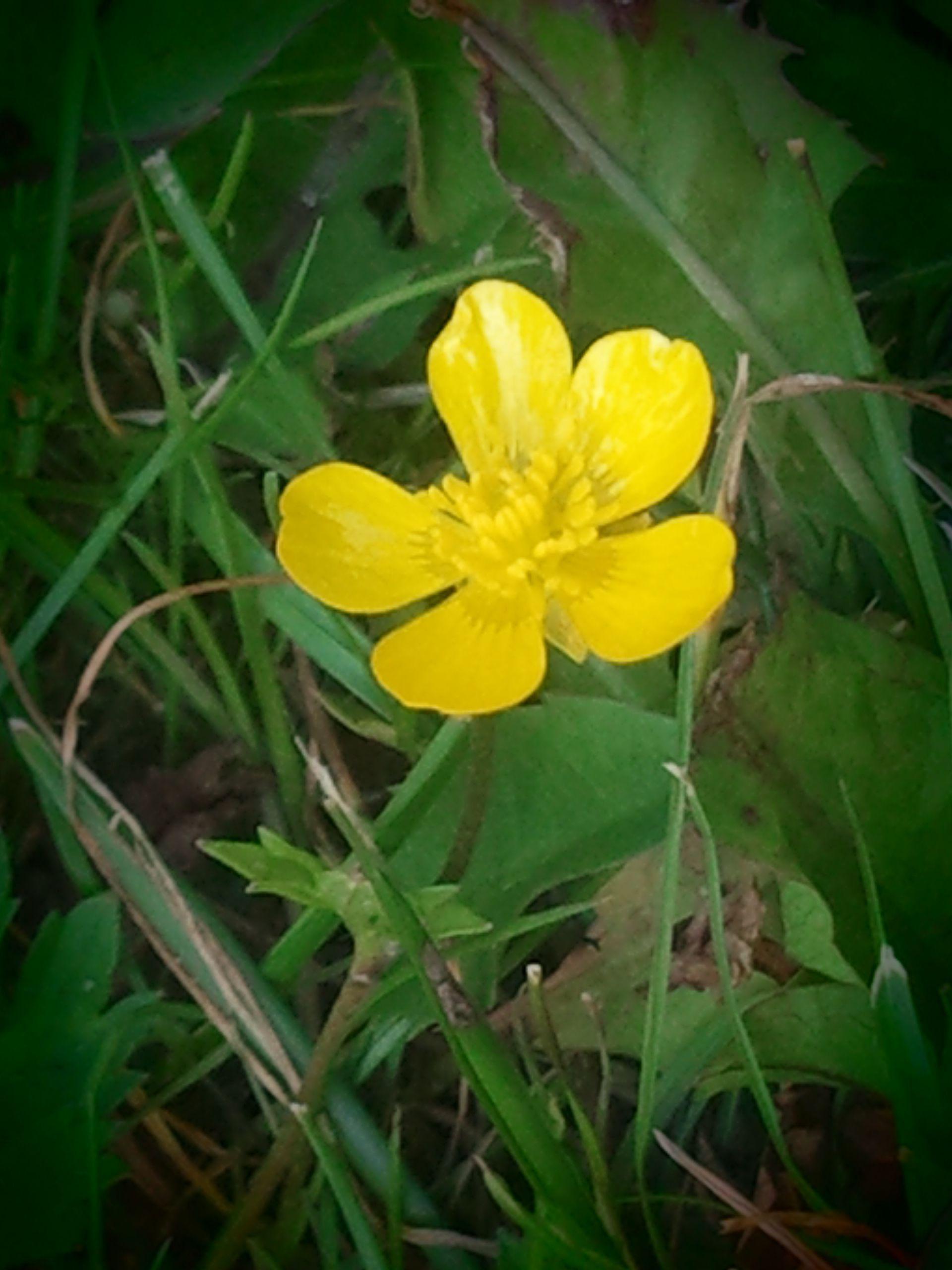 buttercup (vintage)