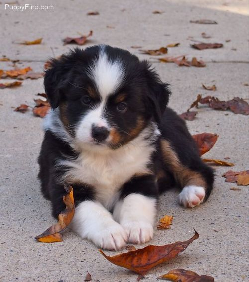 Toy Australian Shepherd Beautiful Baby Girl Toy Australian Shepherd Animals Friends Australian Shepherd