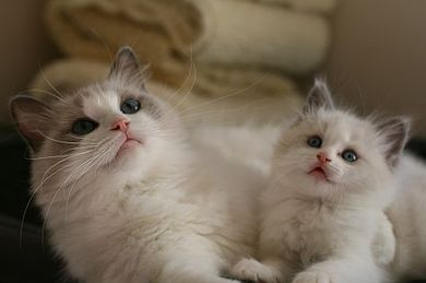 Pin By Sonia Uhnak On Stuff To Buy Ragdoll Cat Baby Cats Cute Baby Animals