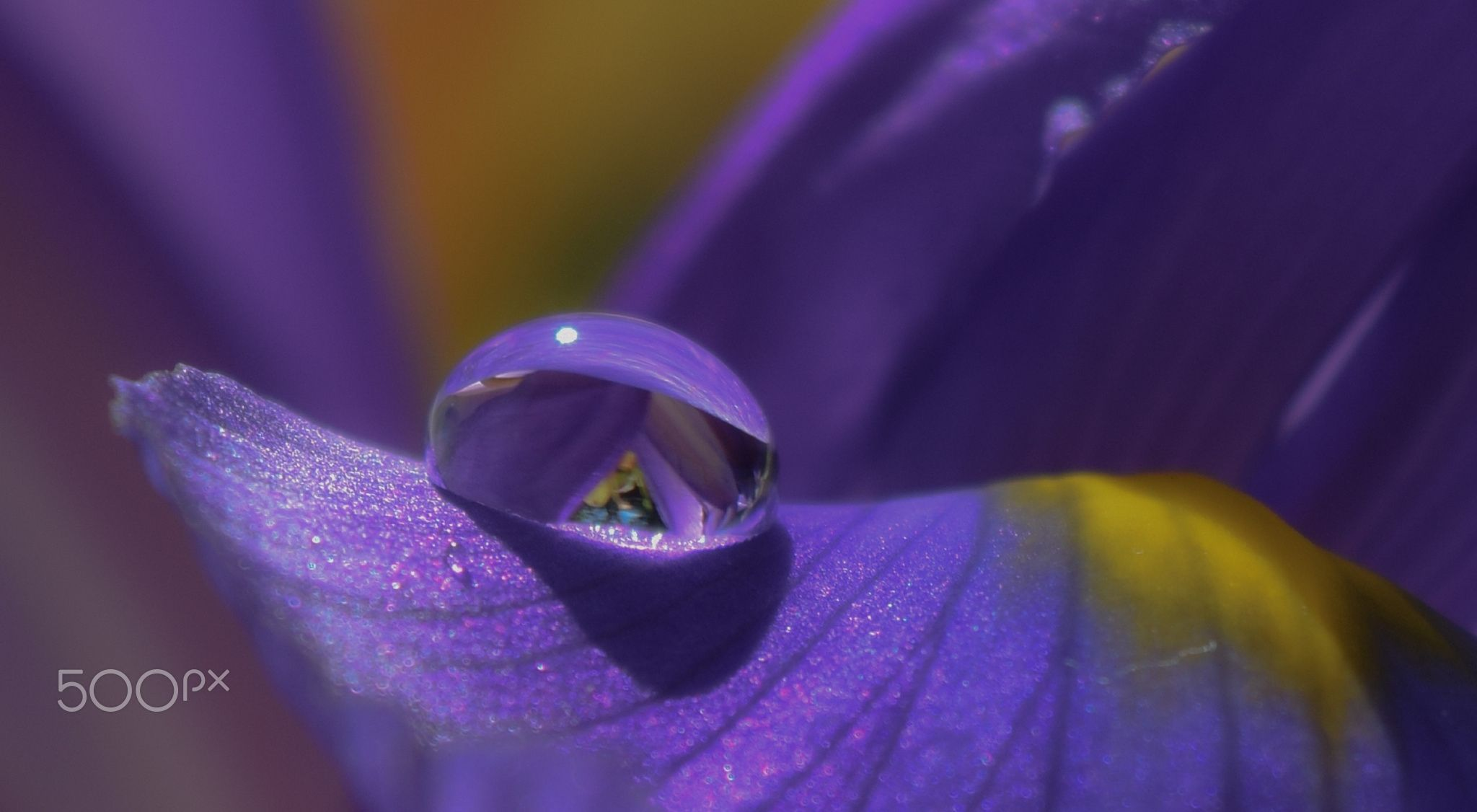 Have I Told You Lately That I Love You One Drop on Iris Flower