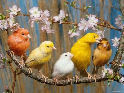 aves canarios anaranjados - Buscar con Google