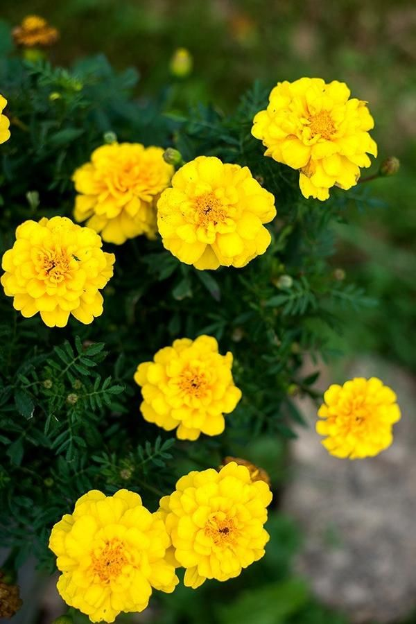 Marigold safari yellow marigold calendula pinterest marigold beautiful pale yellow double flowers are 2 inches across on 12 inch tall plants foliage is dark green and is a great contrast with the blooms mightylinksfo Gallery