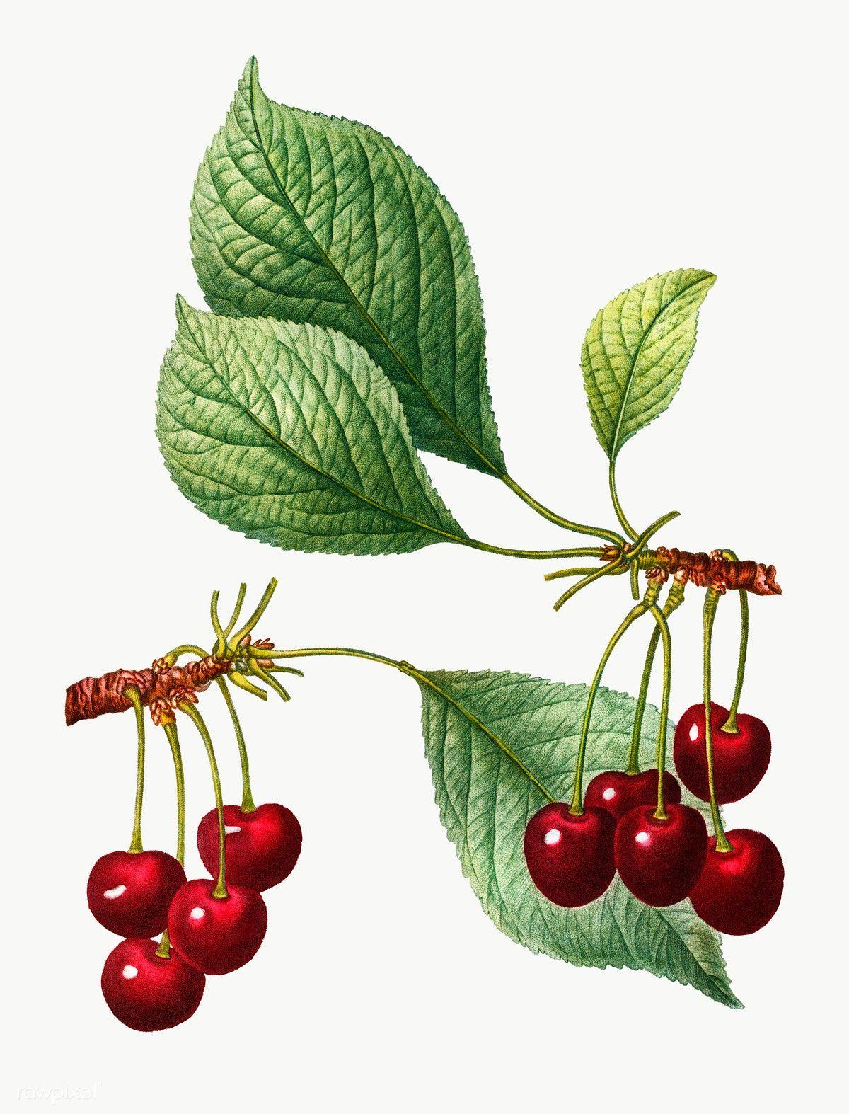 Download Premium Png Of Cherry Fruit Tree Transparent Png 568873 Cherry Tree Cherry Fruit Tree Cherry Fruit