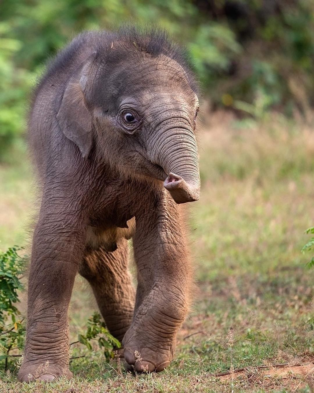 Elephant Elephants Elephantlove Saveelephant Iloveelephant Elephantlover Strunk Wilfanimal Wilflife Elephants Photos Elephant Save The Elephants