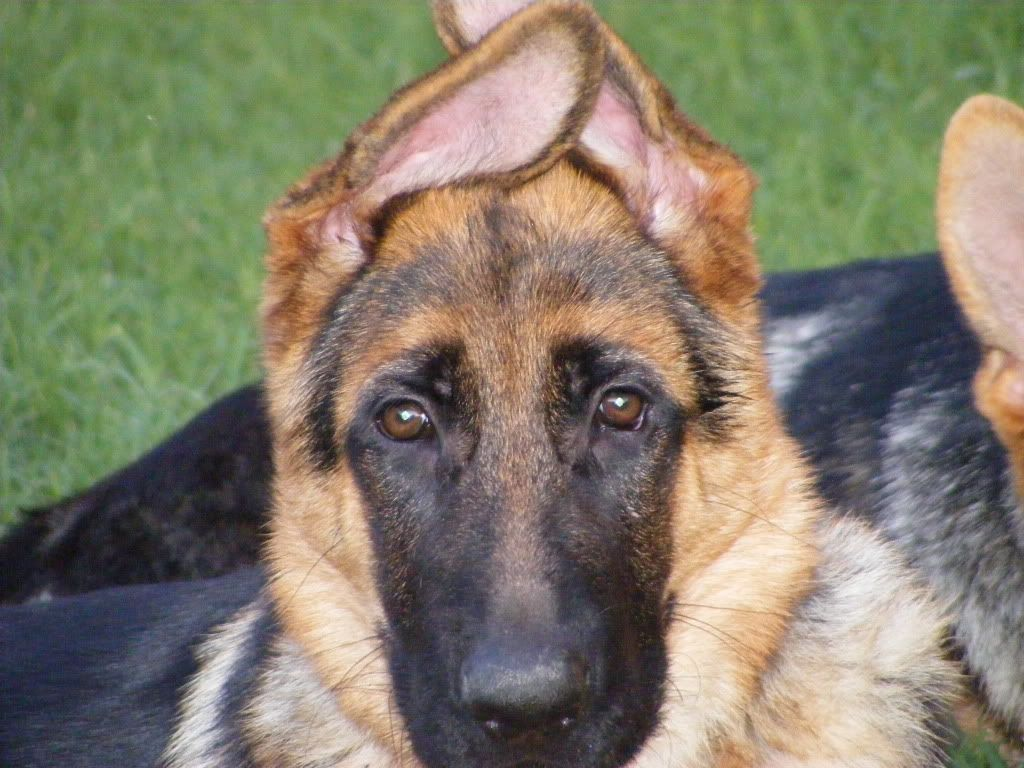 Ear Stages A Pictorial German Shepherd Dog Forums With Images