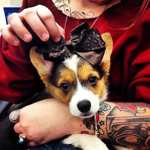 I Love This Corgi Puppy Corgi Corgi Mom Corgi Pictures
