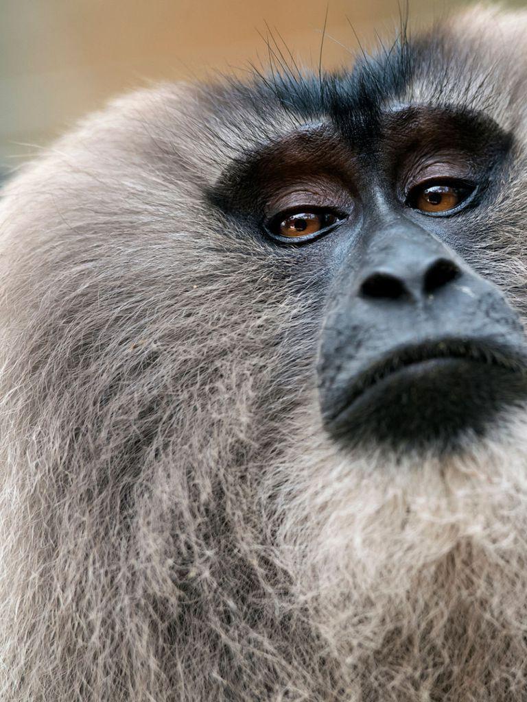 Pin On 1302 Pictogram Monkeys Asia